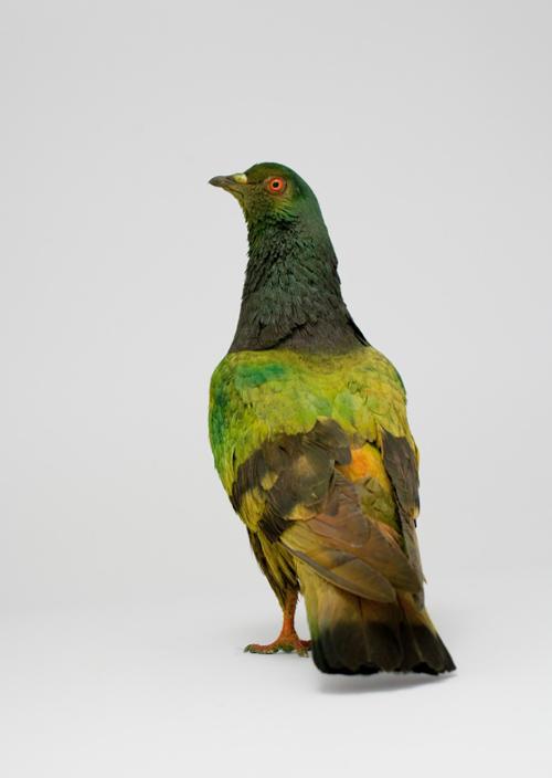 julian_charriere_pigeons_08_coultique