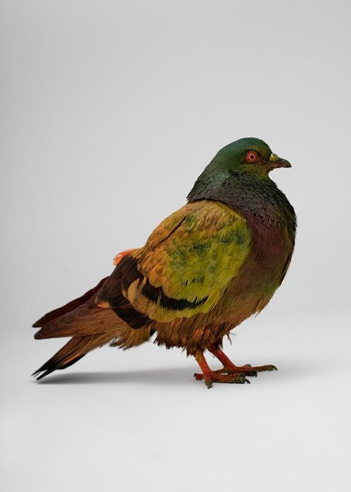 julian_charriere_pigeons_10_coultique