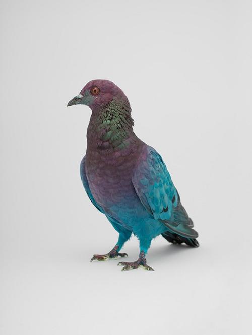 julian_charriere_pigeons_13_coultique