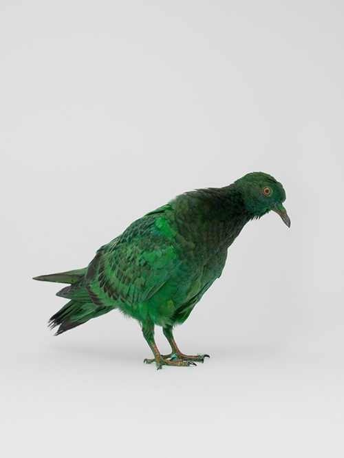 julian_charriere_pigeons_16_coultique